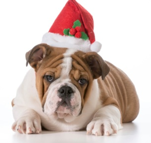Christmas Bulldog - Web Res